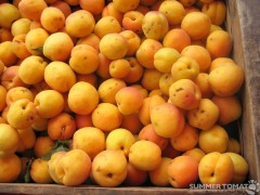First Pick Apricots