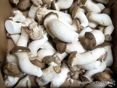 Trumpet Mushrooms