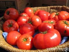 Spring Tomatoes