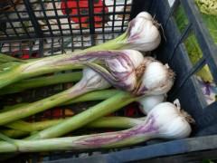 New Garlic