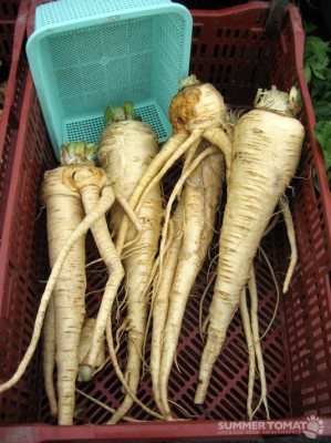 Large Parsnips
