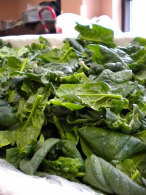 Snug Haven Spinach