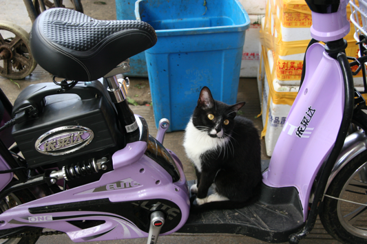 Cat on Scooter
