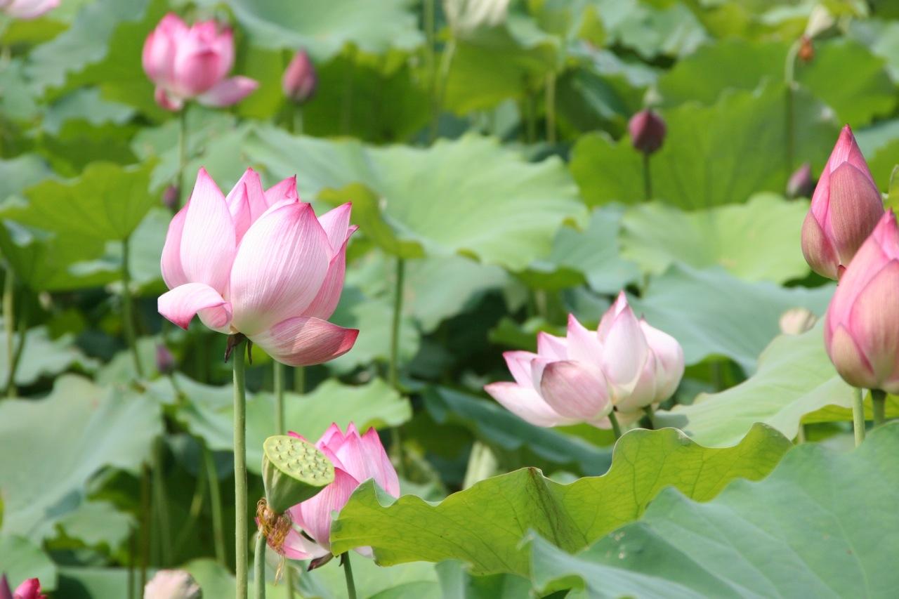 Lotus shoot summer tomato lotus flower dhlflorist Choice Image