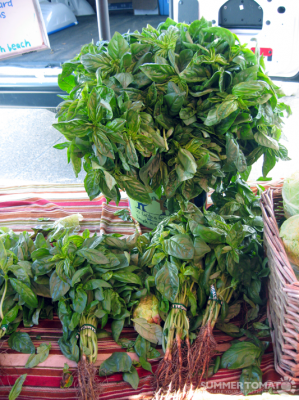Rooted Basil